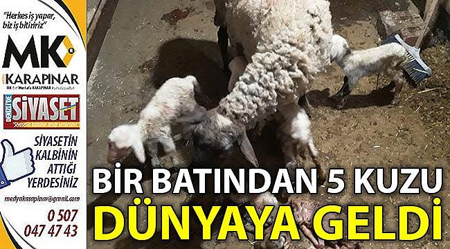 Bir batından 5 koyun dünyaya geldi