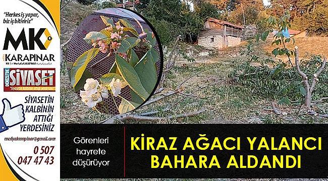 Kiraz ağacı yalancı bahara aldandı